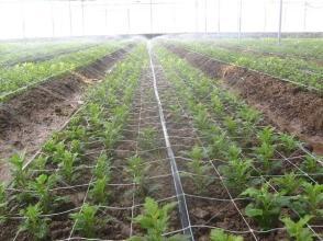 上海冬季蔬菜浇水的注意事项